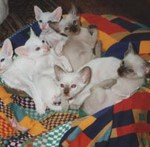 Gr Ch Shimileeta Zaragazana's kittens
