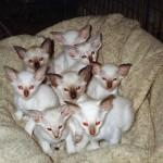 Gr Pr Shermese Heavensent's kittens